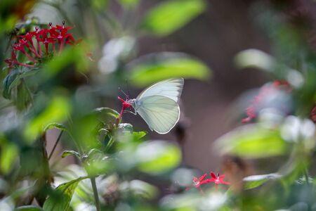 Wielki południowy biały motyl Ascia monuste okonie na kwiat w ogrodzie w Neapolu na Florydzie