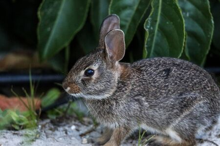 Marsh rabbit Sylvilagus palustris with its short ears and large eyes sits on the edge of a wooded area in Naples, Florida. Reklamní fotografie