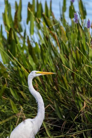Adult Great egret bird Ardea alba perches among grass in a marsh in Naples, Florida
