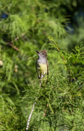 Great crested flycatcher Myiarchus crinitus bird in a tree in Naples, Florida
