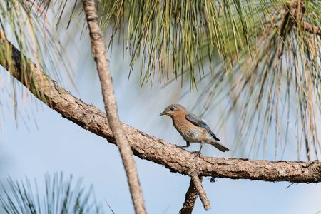 Fledgling Female eastern bluebird Sialia sialis perches on the trunk of a tree in Naples, Florida 版權商用圖片