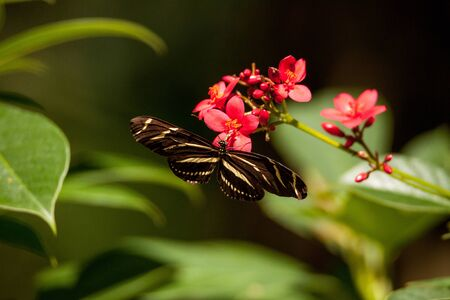 State butterfly of Florida the zebra longwing, Heliconius charitonia, previously Linnaeus.