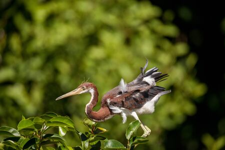 Juvenile tricolored heron Egretta tricolor was once called the Louisiana heron.