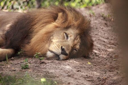 Adult male African lion Panthera leo can be found in most of sub-Saharan African but not in the desert and rainforest.
