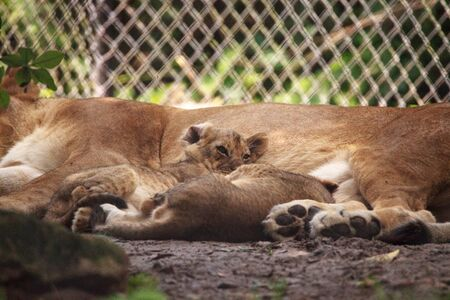 Baby African lion cub Panthera leo nursing from its mother lioness.
