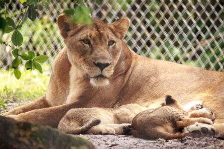 Nursing female African lioness Panthera leo feeding her young cubs in the shade.