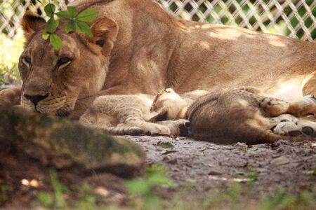 Nursing female African lioness Panthera leo feeding her young cubs in the shade. Reklamní fotografie