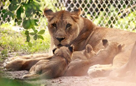 Nursing female African lioness Panthera leo feeding her young cubs in the shade. Stok Fotoğraf
