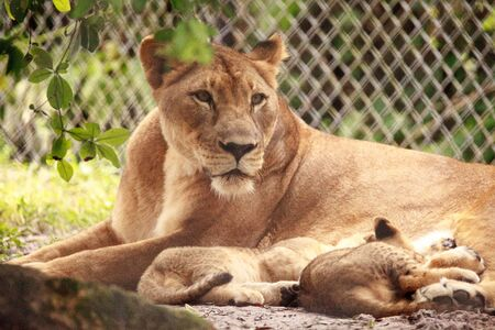 Nursing female African lioness Panthera leo feeding her young cubs in the shade. Zdjęcie Seryjne