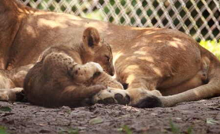 Baby African lion cub Panthera leo nursing from its mother lioness. Stockfoto