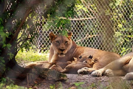 Nursing female African lioness Panthera leo feeding her young cubs in the shade. Stockfoto