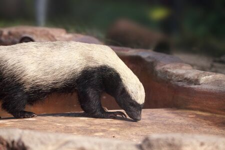 Honey badger Mellivora capensis is known for being tough and tenacious.