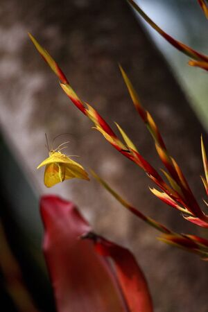 Flying Cloudless sulfurs butterfly Phoebis sennae lifts off from red and yellow heliconia flower in Naples, Florida