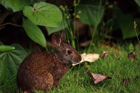 Marsh rabbit Sylvilagus palustris with its short ears and large eyes in Naples, Florida Reklamní fotografie