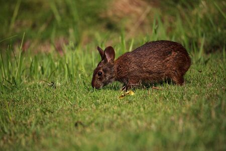 Marsh rabbit Sylvilagus palustris with its short ears and large eyes in Naples, Florida