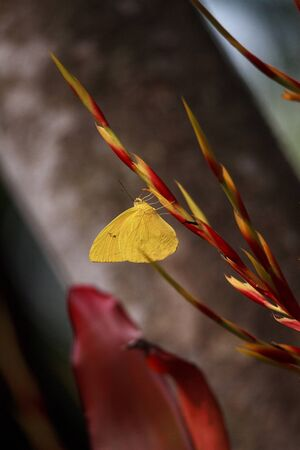 Cloudless sulfurs butterfly Phoebis sennae perches on a red and yellow heliconia flower in Naples, Florida