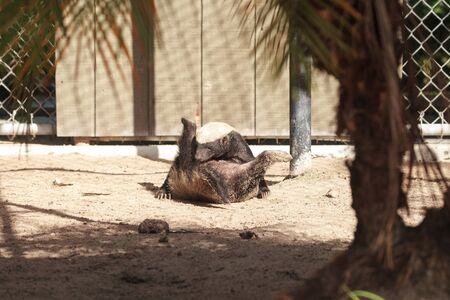 Funny spread legged Honey badger Mellivora capensis is known for being tough and tenacious.