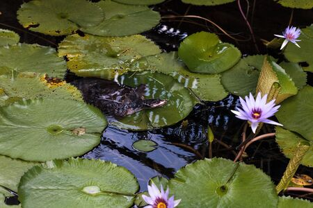 Florida softshell turtle Apalone ferox perches on a lily pad of a blue star water lily Nymphaea nouchali