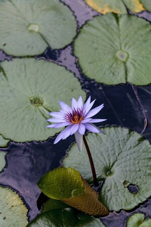 Blue star water lily Nymphaea nouchali in a pond in Sarasota, Florida. 写真素材