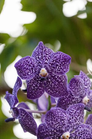 Purple spotted aranda orchid flower Vandaceous hybrid blooms in a garden. 스톡 콘텐츠
