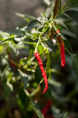 Red hot peppers vegetable growing in a natural organic garden in southern Florida.