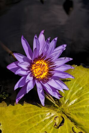 Spikey Purple and white water lily Nymphaea blooms in a pond with lily pads in southern Florida in summer. Stock Photo