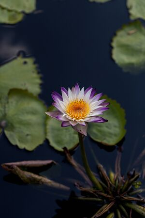 Spikey Purple and white water lily Nymphaea blooms in a pond with lily pads in southern Florida in summer. 写真素材