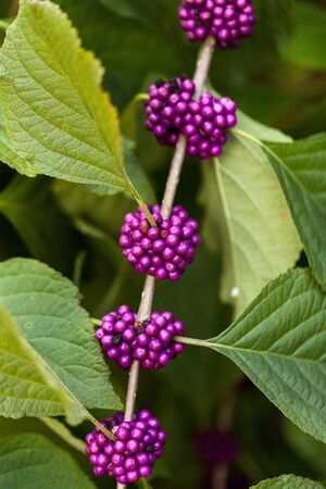 Bright purple berries on a Beautyberry bush Callicarpa americana in the Southern United States 写真素材