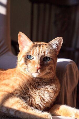 Orange domestic cat relaxes in the sun on a chair in winter.