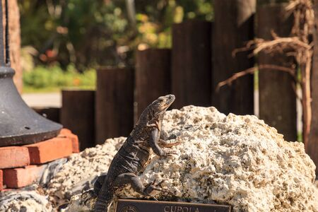 Black Spinytail Iguana Ctenosaura similis perches on a rock at at Bill Baggs Cape Florida State Park at Key Biscayne in Miami, Florida. 스톡 콘텐츠
