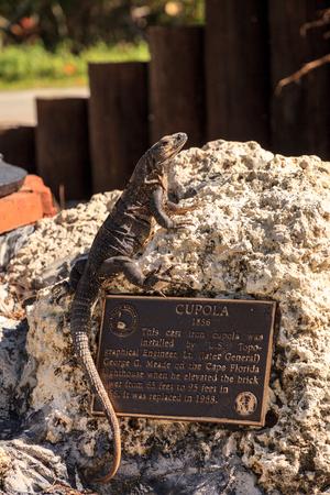 Black Spinytail Iguana Ctenosaura similis perches on a rock at at Bill Baggs Cape Florida State Park at Key Biscayne in Miami, Florida. 에디토리얼