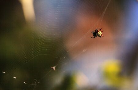 Spiny Orb-Weaver spider Gasteracantha cancriformis catches a mosquito in its web for breakfast.