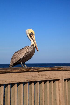 Brauner Pelikan Pelecanus occidentalis Kauf an der Seite des Piers am Deerfield Beach in Deerfield, Florida.
