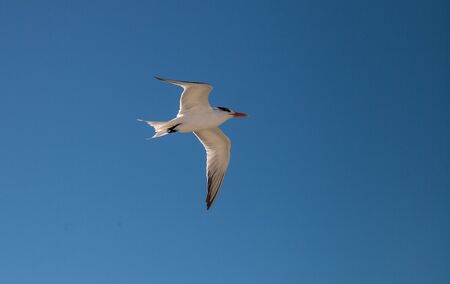 Flying royal tern Thalasseus maximus on the white sands of Clam Pass in Naples, Florida.