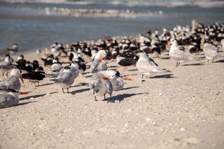 Nesting royal tern Thalasseus maximus on the white sands of Clam Pass in Naples, Florida.