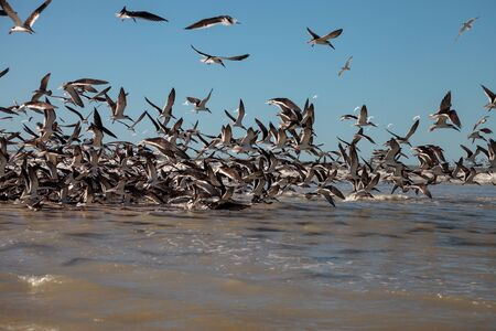 Flying black skimmer terns Rynchops niger over the water of Clam Pass in Naples, Florida. Reklamní fotografie