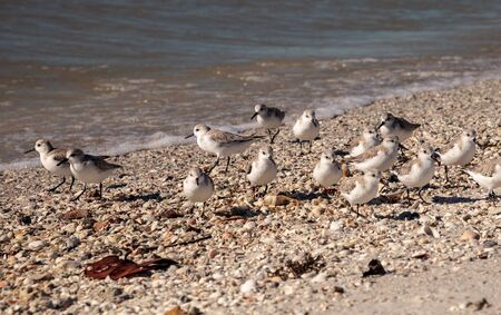 Black bellied plovers Pluvialis squatarola forage at the ocean's edge at Clam Pass in Naples, Florida