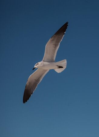 Sandwich tern Thalasseus sandvicensis flying across a blue sky above Clam Pass in Naples, Florida