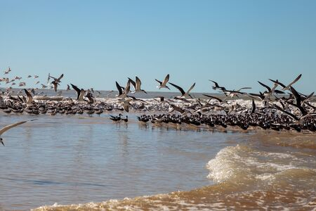 Flying black skimmer terns Rynchops niger over the water of Clam Pass in Naples, Florida. 免版税图像