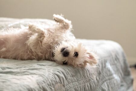 Napping white west highland terrier dog lays on a bed with blue sheet. Фото со стока