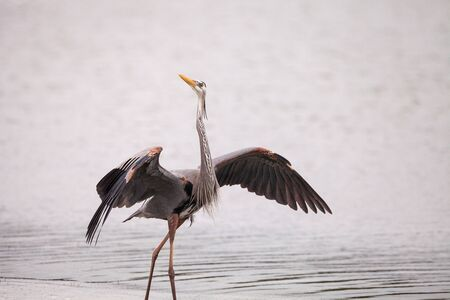 Spread wings of a great blue heron Ardea Herodias in an estuary before Tigertail beach in Marco Island, Florida.