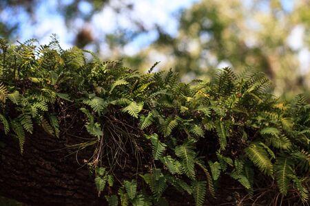 Resurrection fern Pleopeltis polypodioides grows on an oak tree in Myakka State Park in Sarasota, Florida Stockfoto