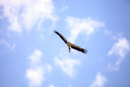 Wood stork Mycteria americana flies through the blue sky over Myakka State Park in Sarasota, Florida.