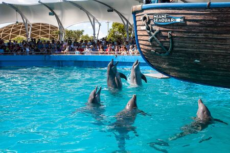 Miami, Florida, USA – October 21, 2014: Pod of Bottlenose dolphin Tursiops truncatus perform at the Miami Seaaquarium in Florida. Editorial use only. Stock Photo - 140478508