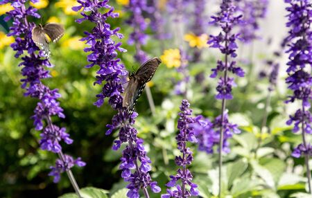 Palamedes swallowtail butterfly, Papilio palamedes, in a butterfly garden in spring in Sarasota, Florida, USA
