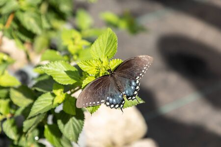 Spicebush swallowtail Papillio troilus butterfly in a butterfly garden in spring in Sarasota, Florida, USA