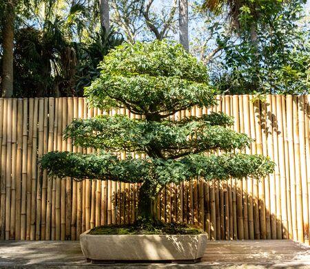 Brazilian Rain Tree Chloroleucon tortum bonsai tree grows in a botanical garden. Фото со стока