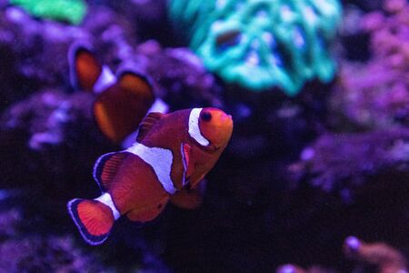 Clownfish or anemonefish Amphiprioninae swims through a tropical coral reef in an anemone. Zdjęcie Seryjne