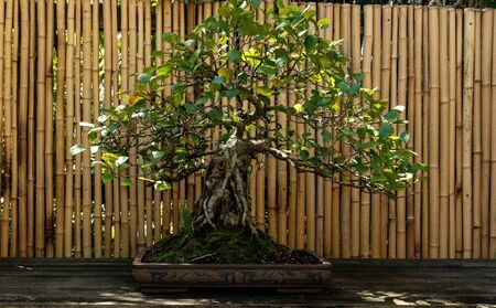 Triangle fig tree Ficus triangularis bonsai tree grows in a botanical garden.