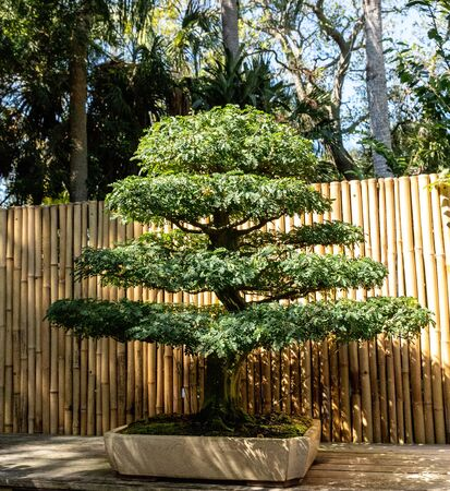Brazilian Rain Tree Chloroleucon tortum bonsai tree grows in a botanical garden.